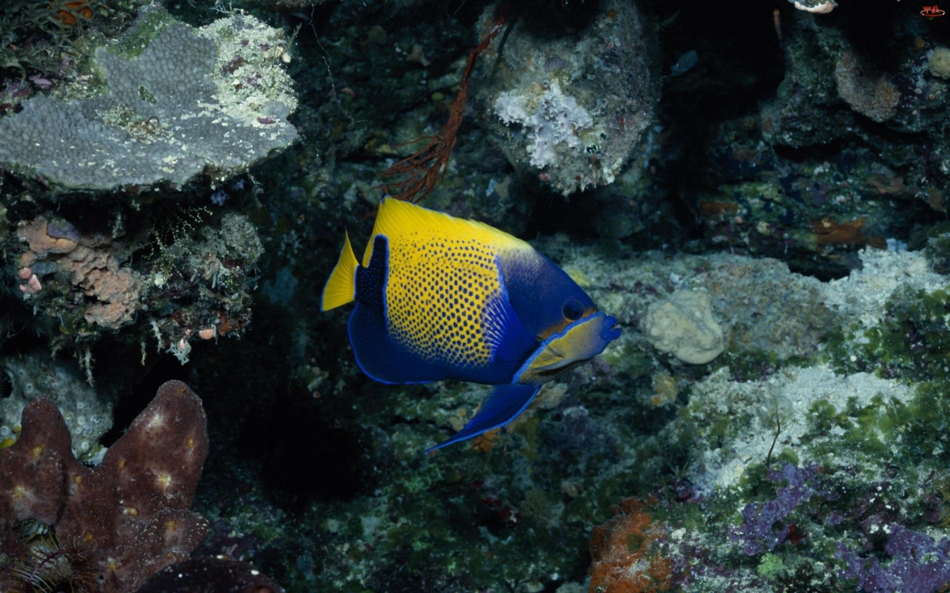 Ryba, Niebiesko, Żółta