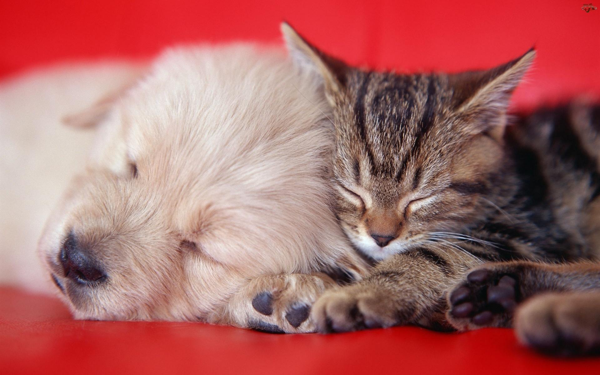 Kot, Golden Retriever, Mały, Szczeniaczek