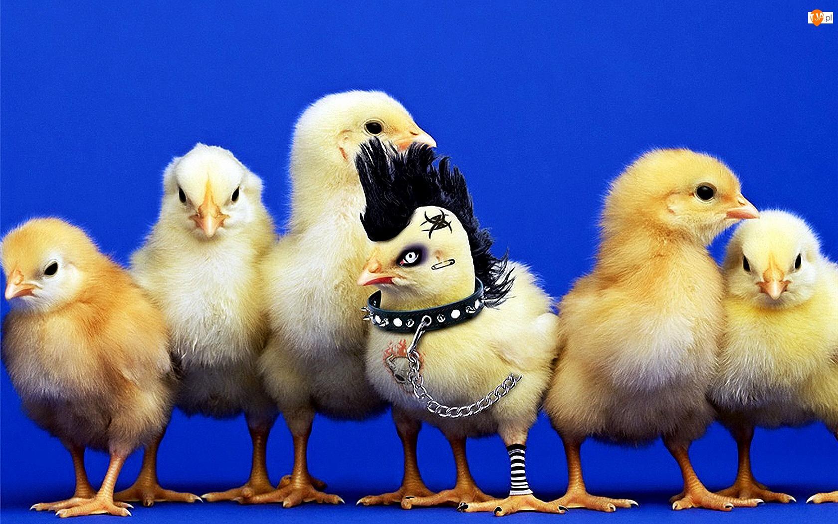 Kurczaki, Punk