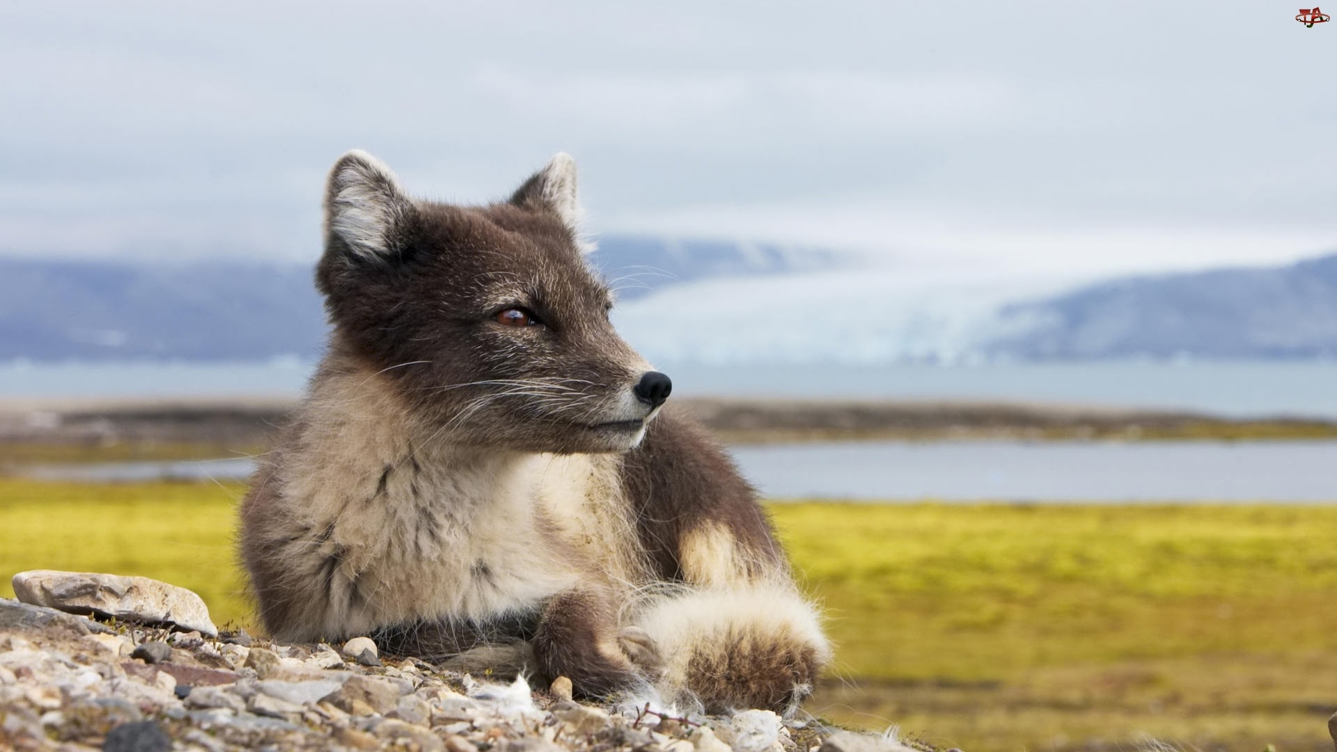 Lis, Arktyczny