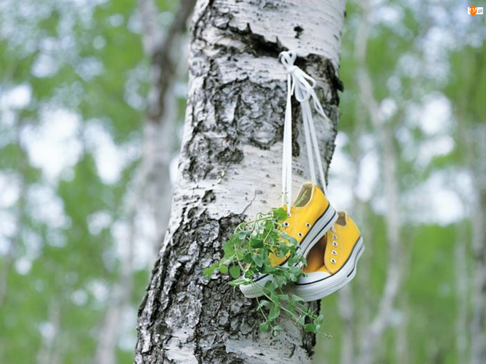 Trampki, Drzewo, Brzoza