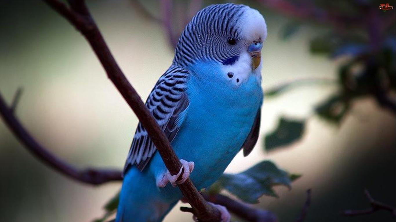 Falista, Niebieska, Papuga