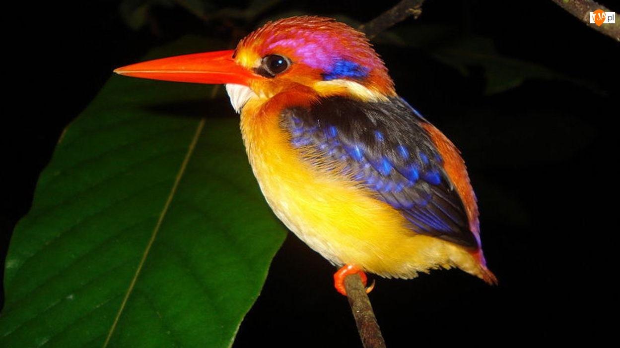 Kolorowy, Ptak