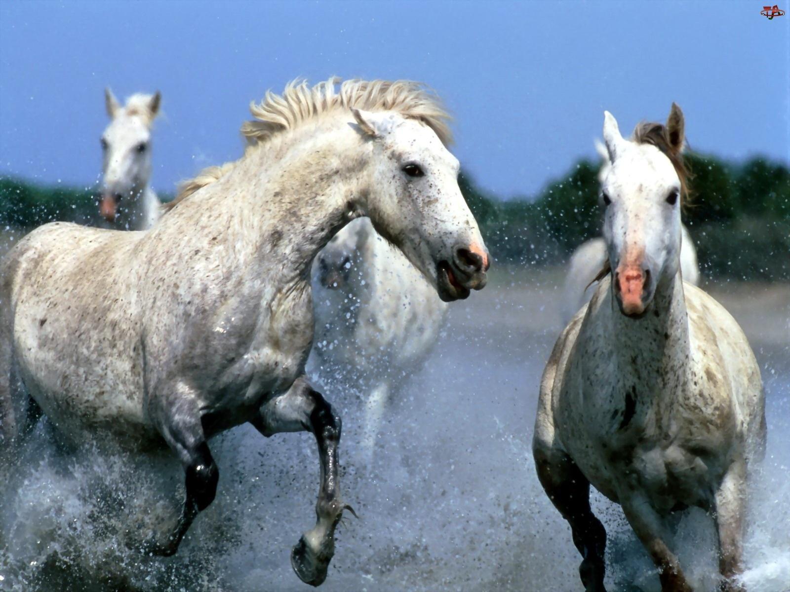 Woda, Białe, Konie