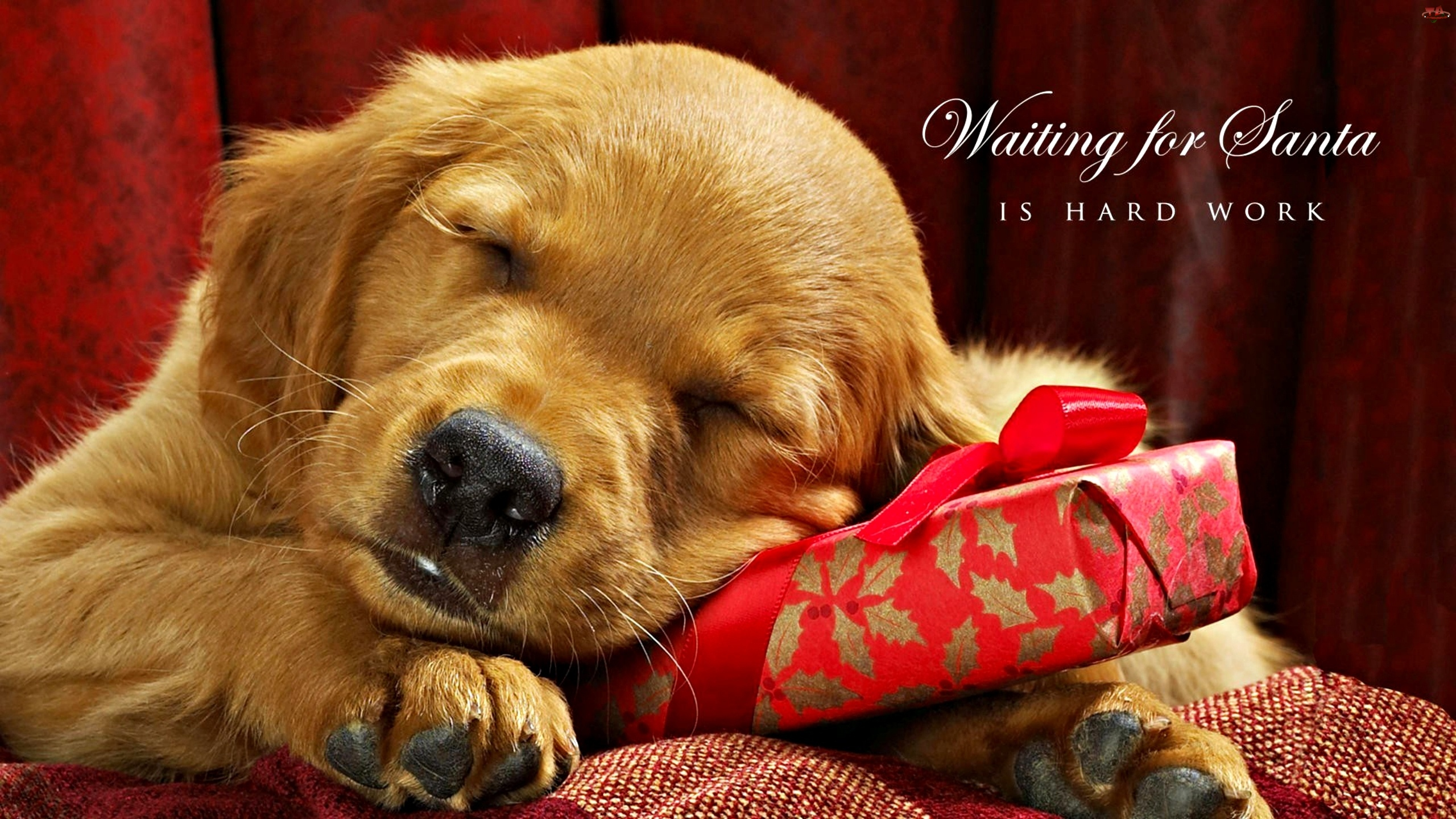 Śpiący, Golden Retriever, Szczeniaczek, Prezent