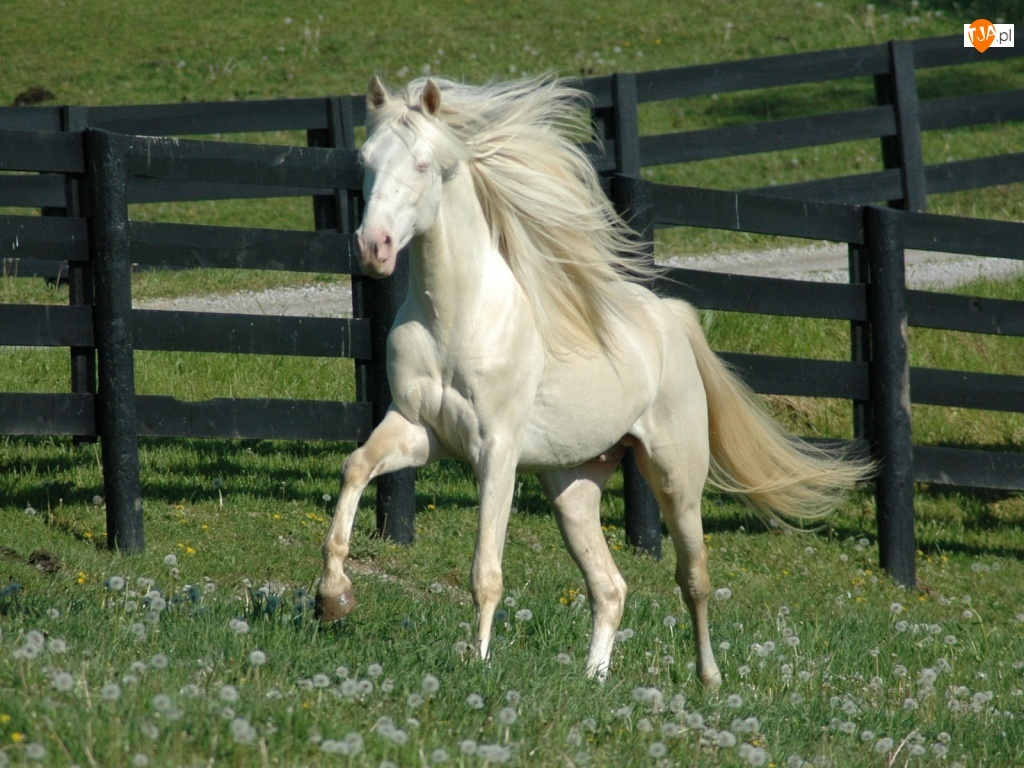 Pastwisko, Biały, Koń