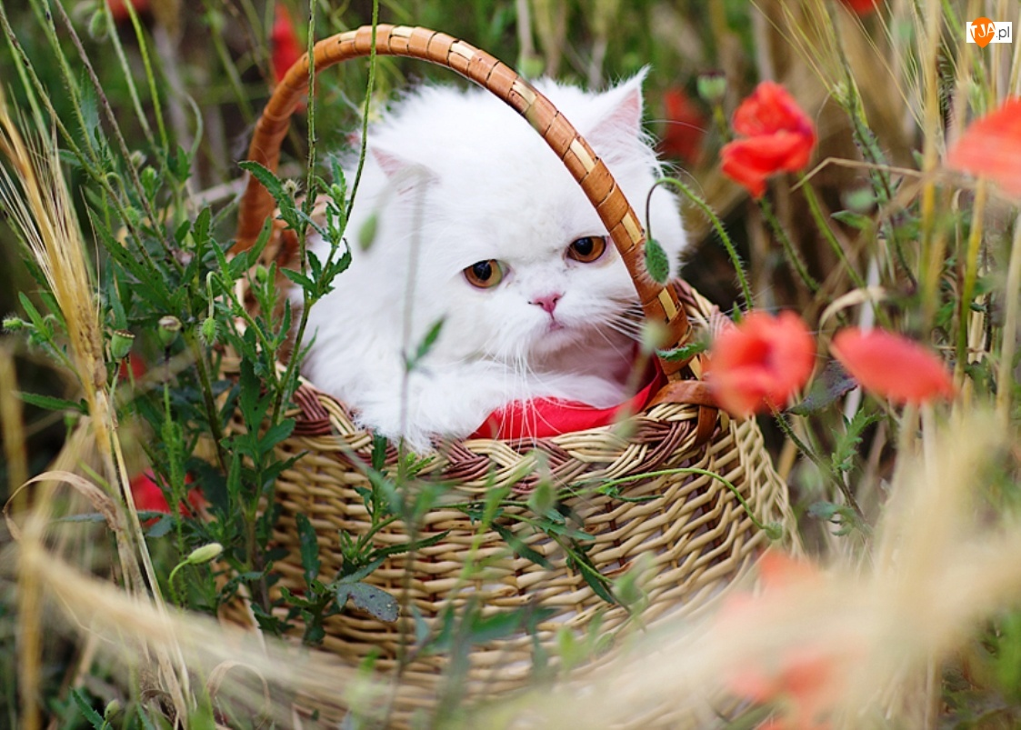 Biały, Kwiaty, Kotek, Koszyk