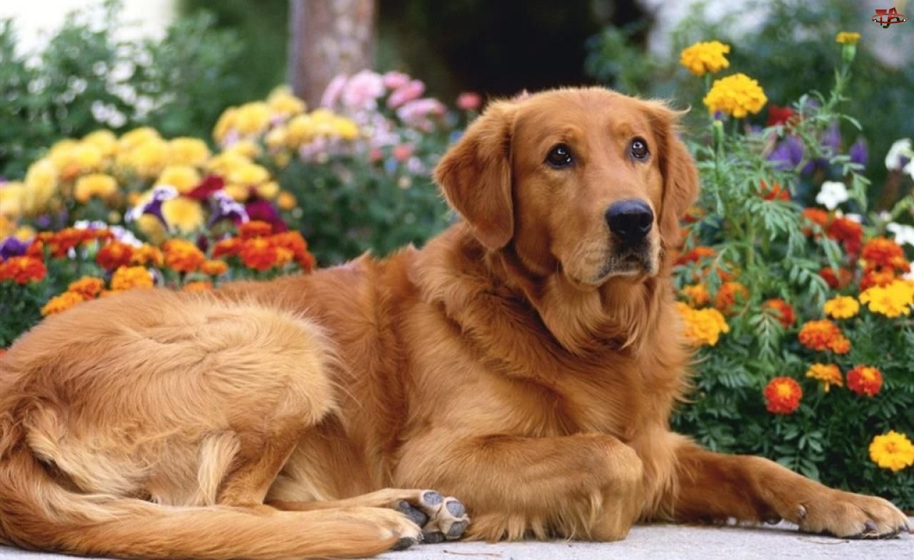 Golden Retriever, Pies, Brązowy