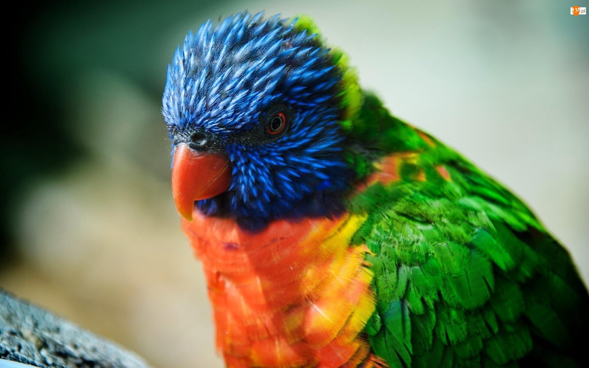 Kolorowa, Papużka