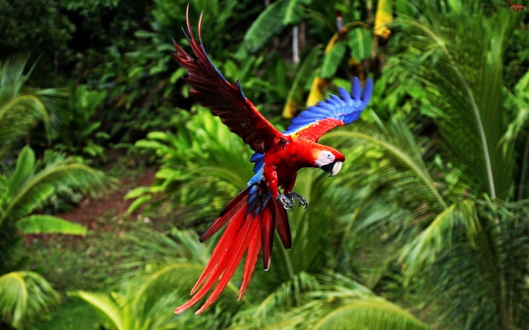Papuga, Locie, Ara, W