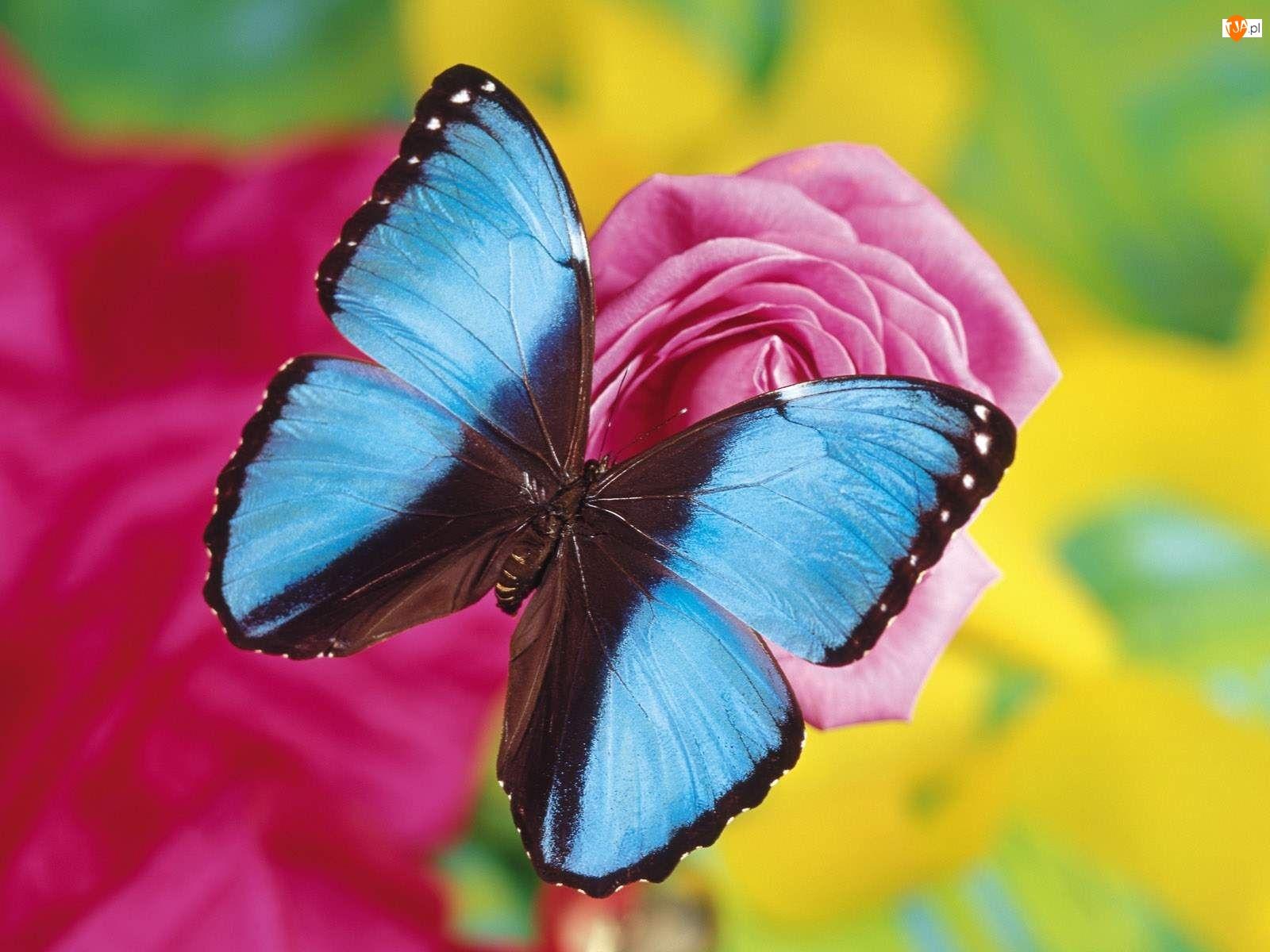 Róża, Niebieski, Motylek