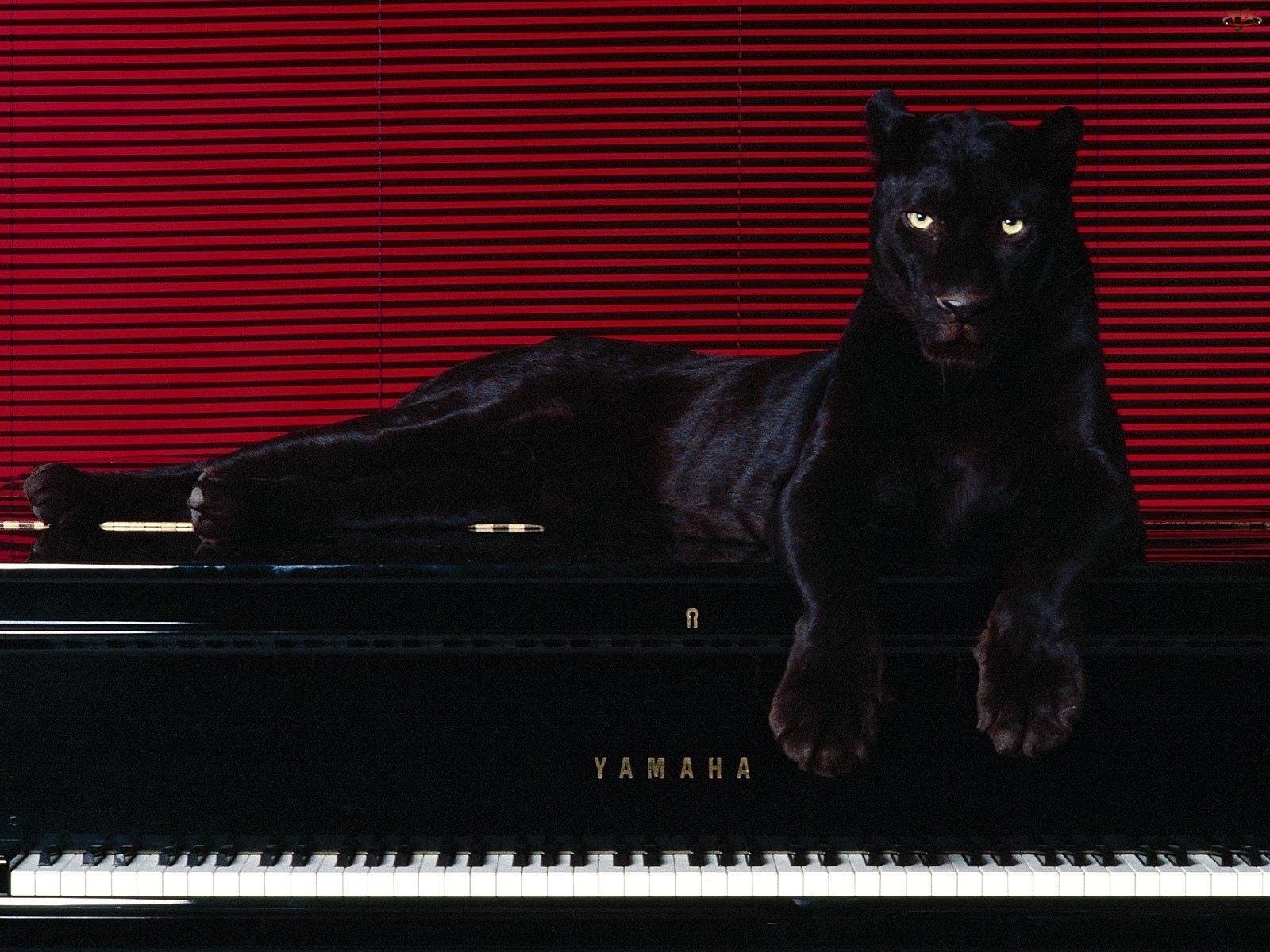 Pianino, Czarna, Pantera