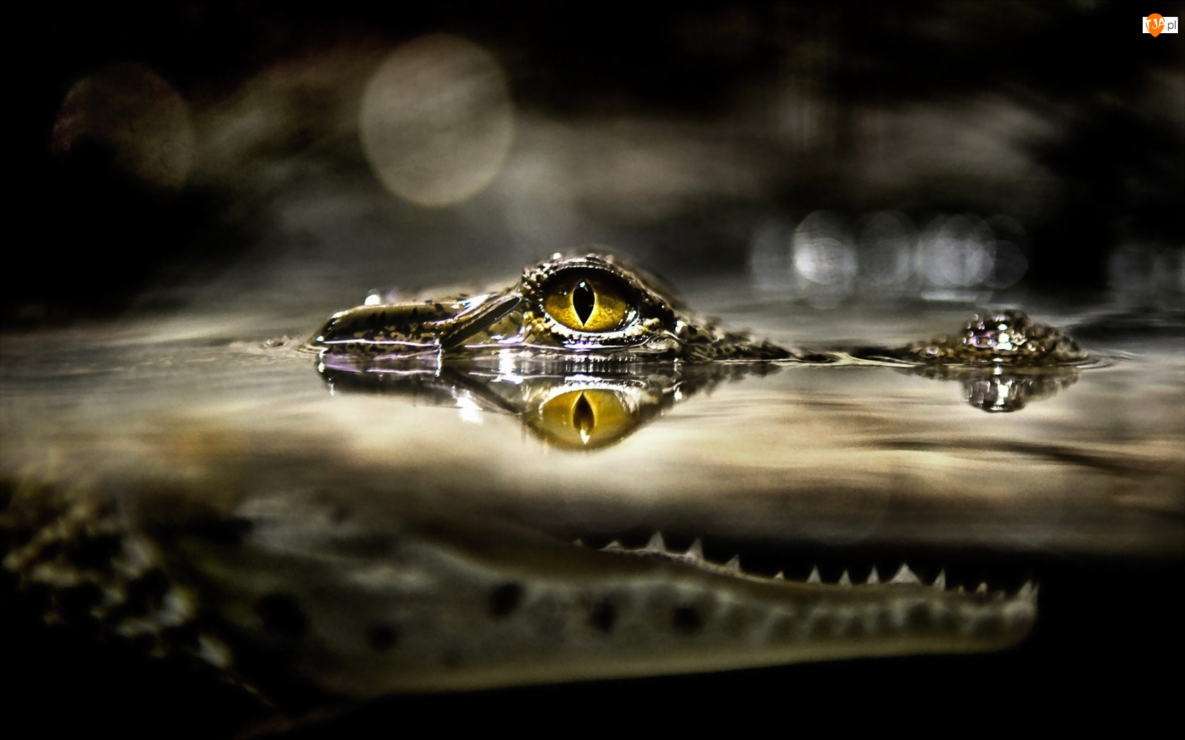Krokodyl, Oko