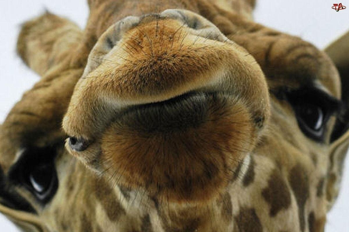 Oczy, Mordka, Żyrafy
