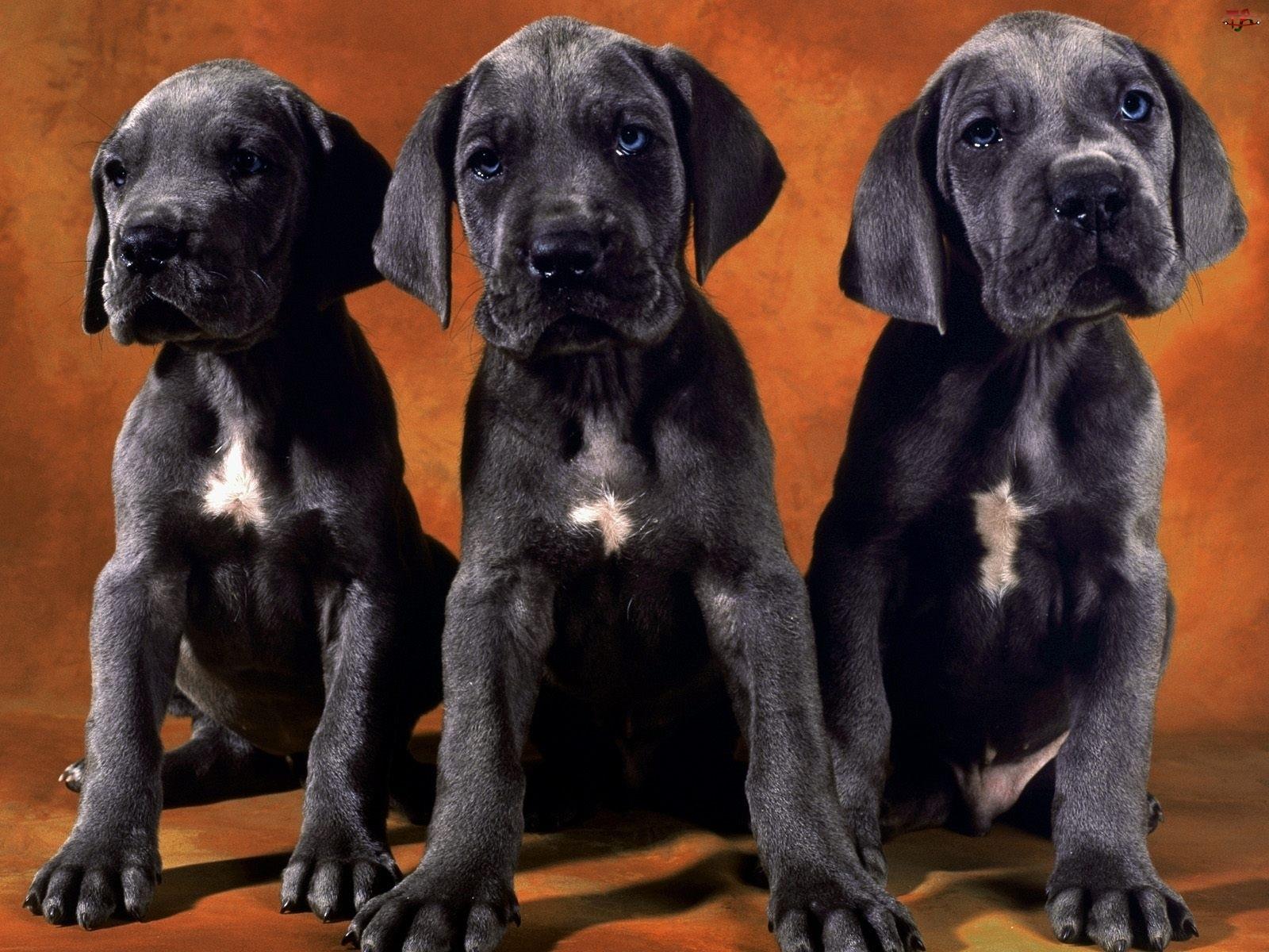 Trzy, Dog niemiecki, Czarne, Szczeniaki
