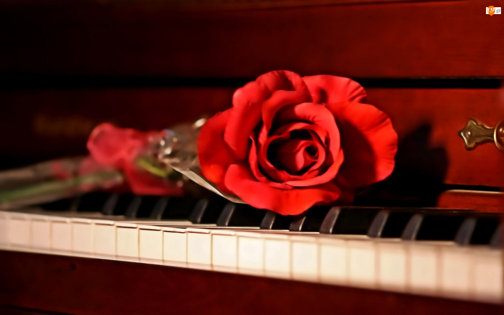 Pianino, Czerwona, Róża