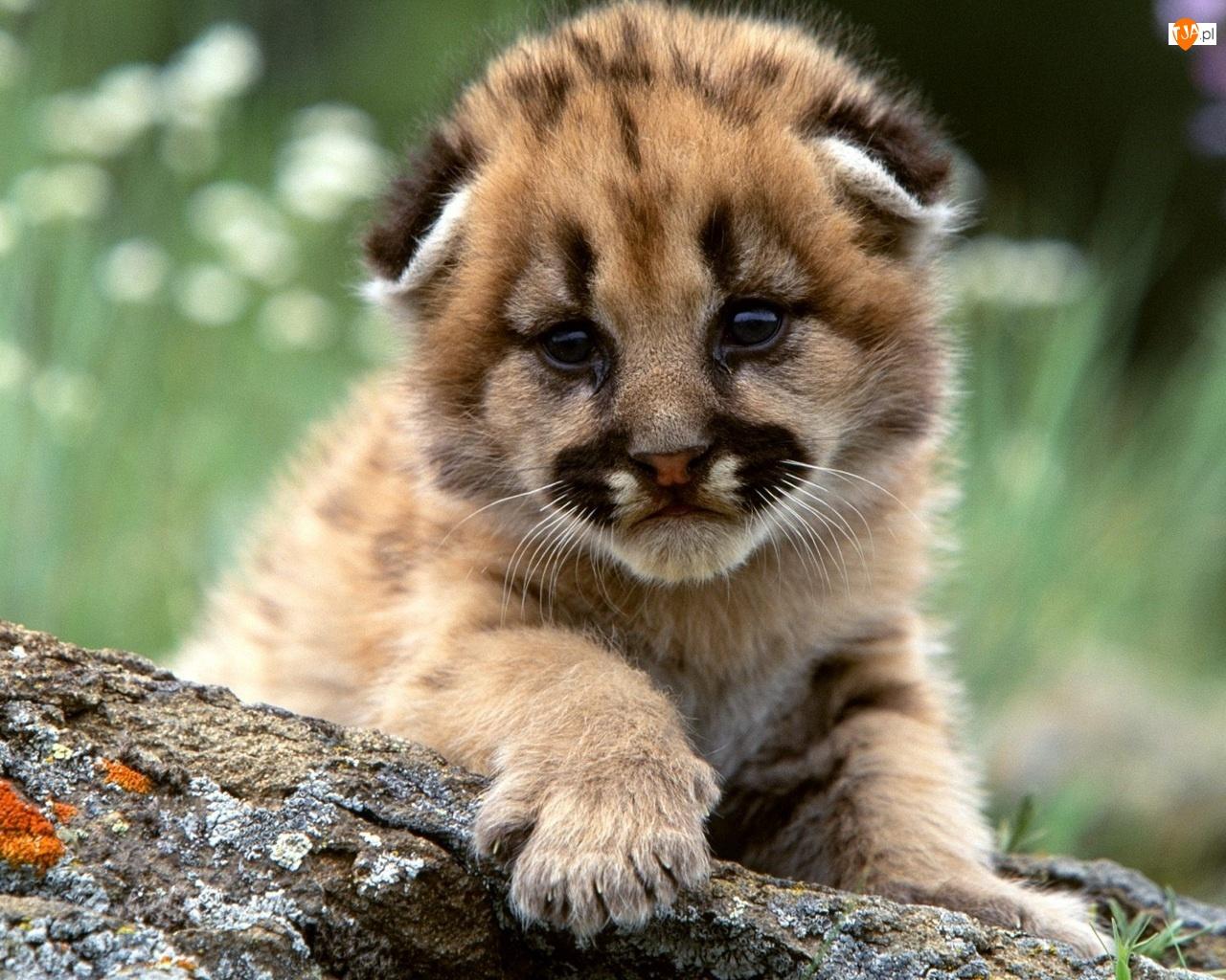Mała Puma