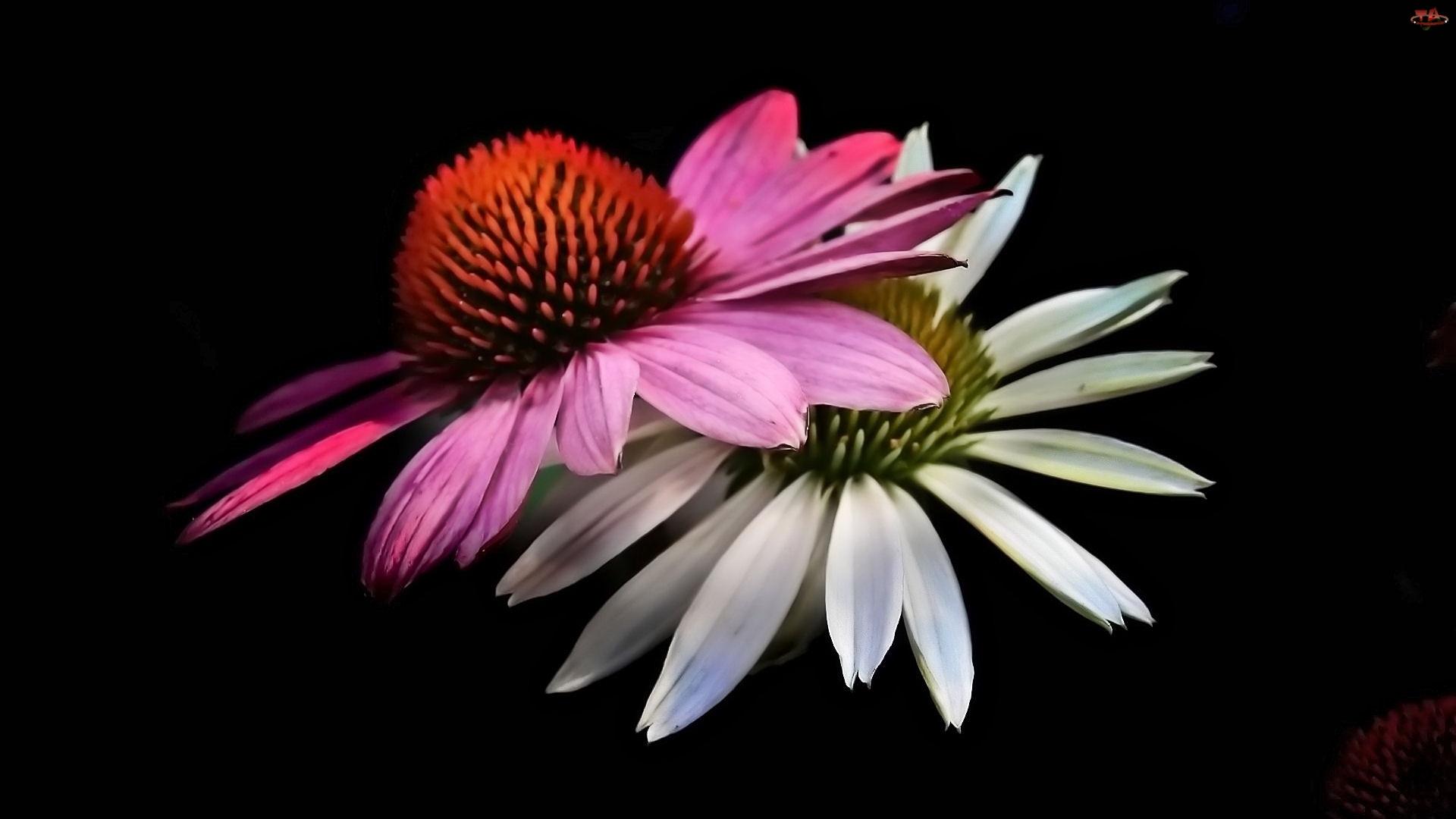 Dwa, Biały, Kwiaty, Różowy