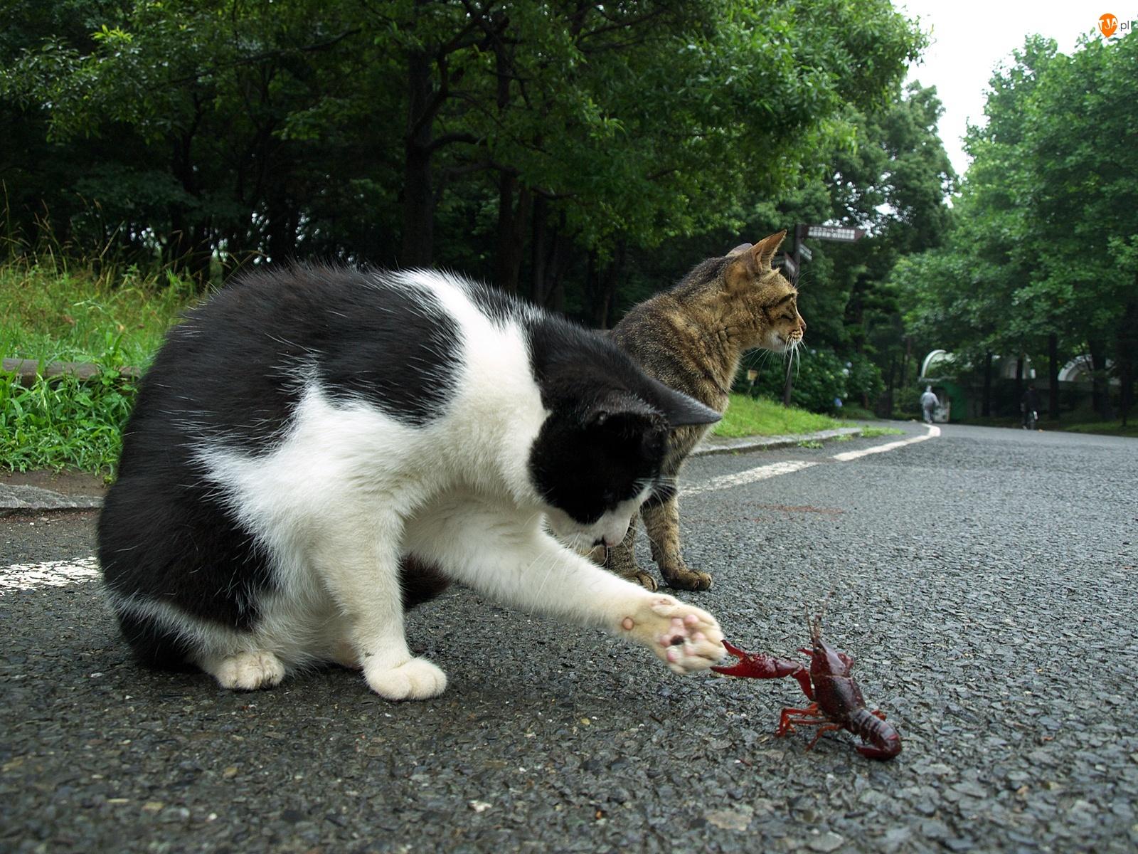 Raczek, Koty, Droga
