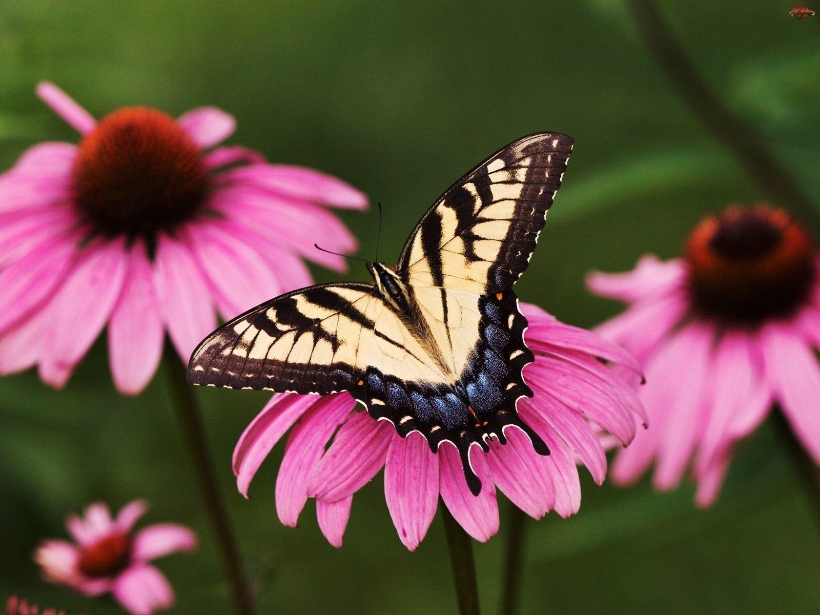 jeżówka, Motyl, kwiat