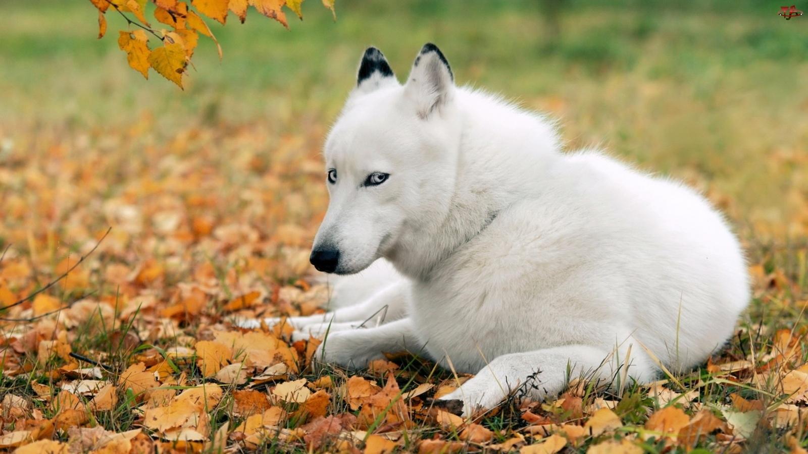 Pies, Liście, Biały