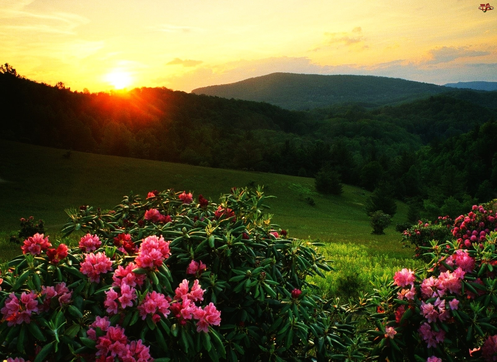 Zachód, Rododendrony, Słońca, Wzgórza