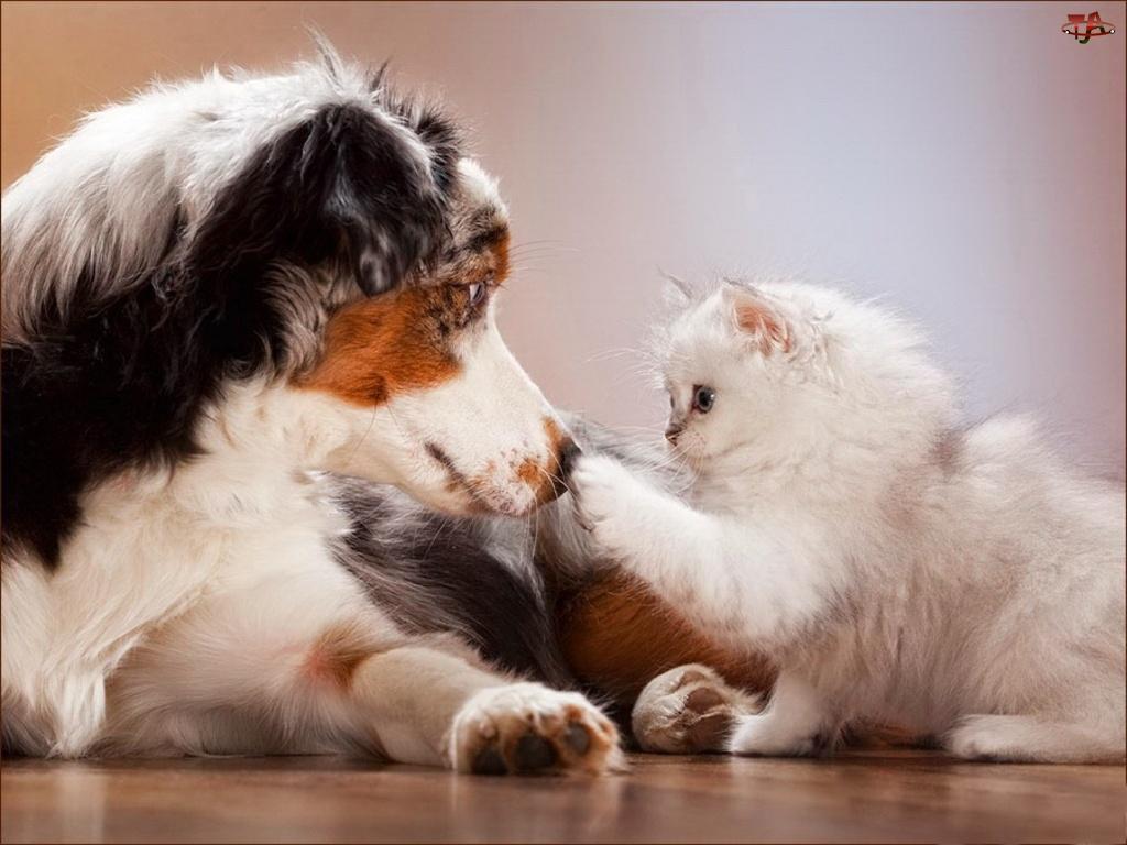 Owczarek australijski-australian shepherd, Kot, Pies