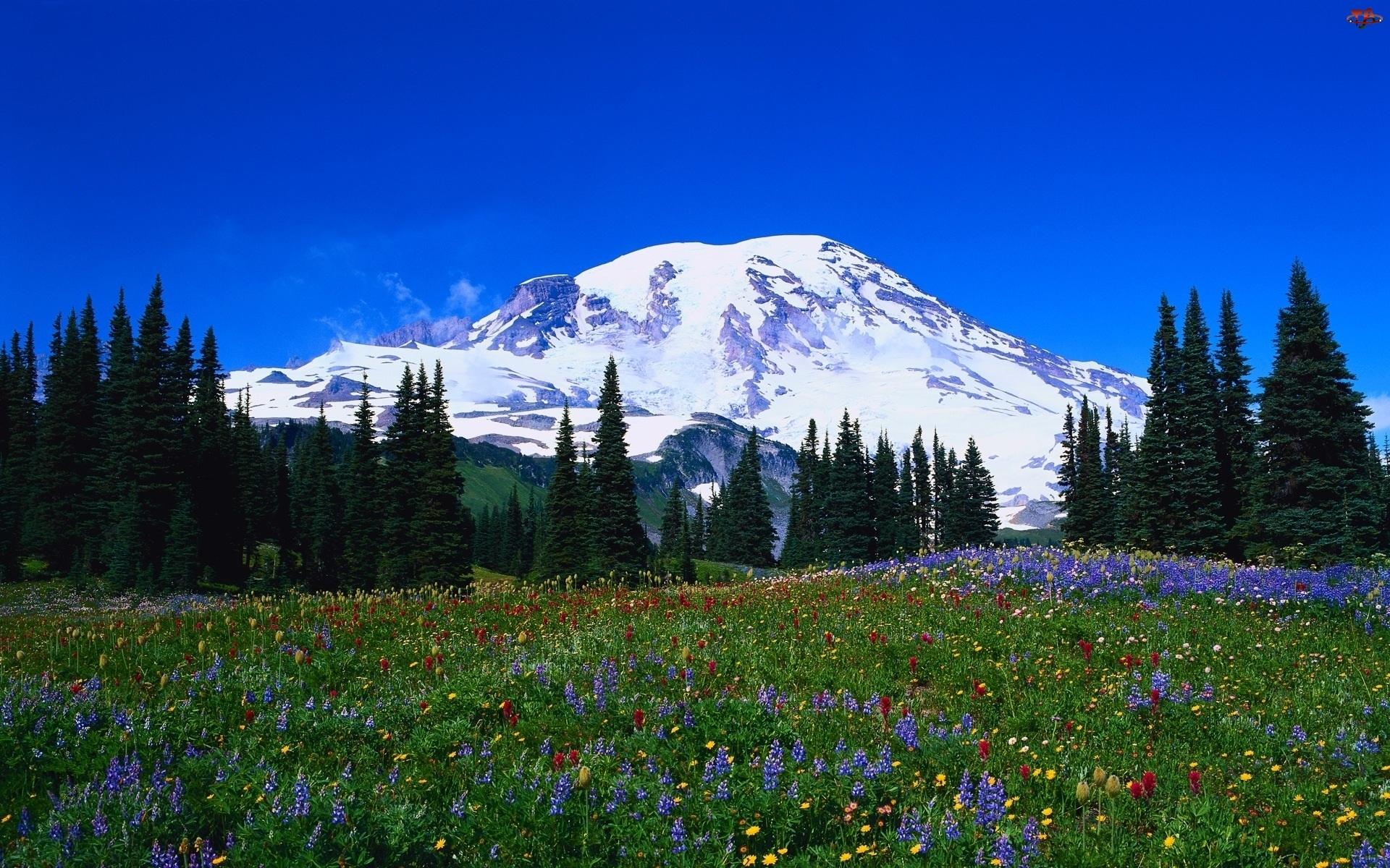 Łąka, Góry, Kwiaty, Świerki