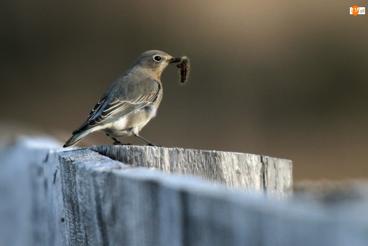 Gąsienica, Ptak, Błękitniczek Górski