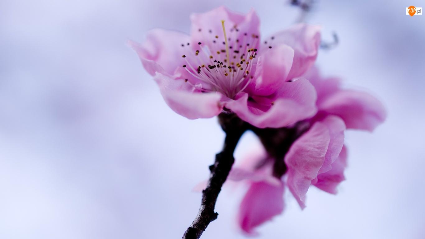 Kwiat, Wiśni