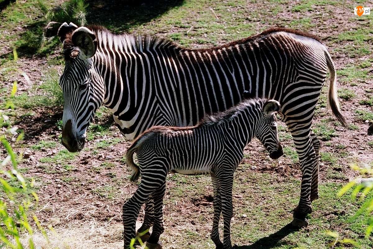 źrebak, zebry, matka