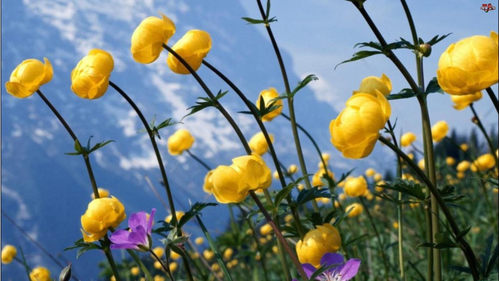 Żółte, Pełnik, Polne, Kwiaty