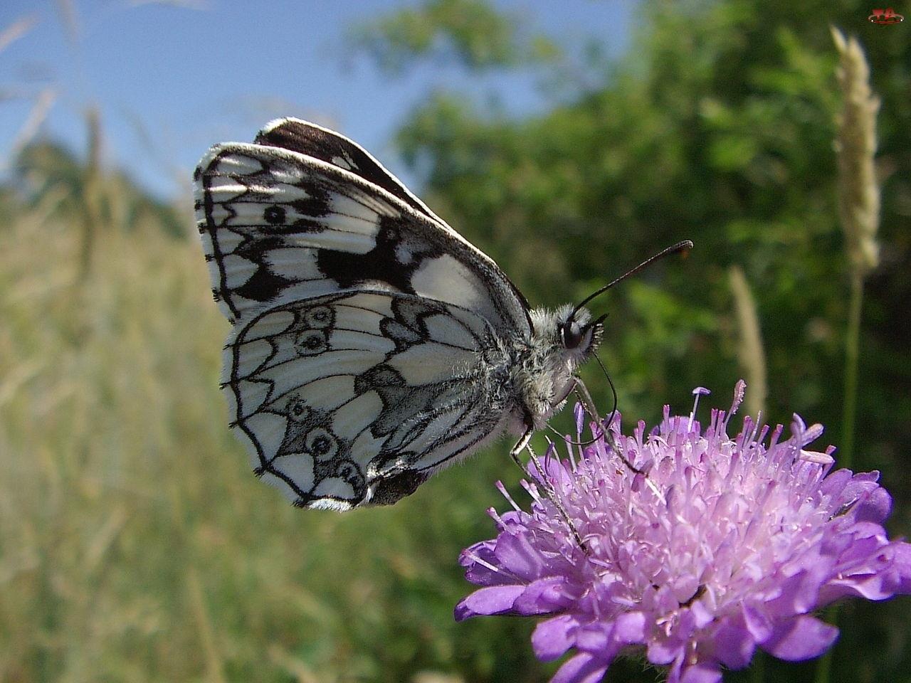 Motyl, Łąka, Polowiec Szachownica, Kwiat
