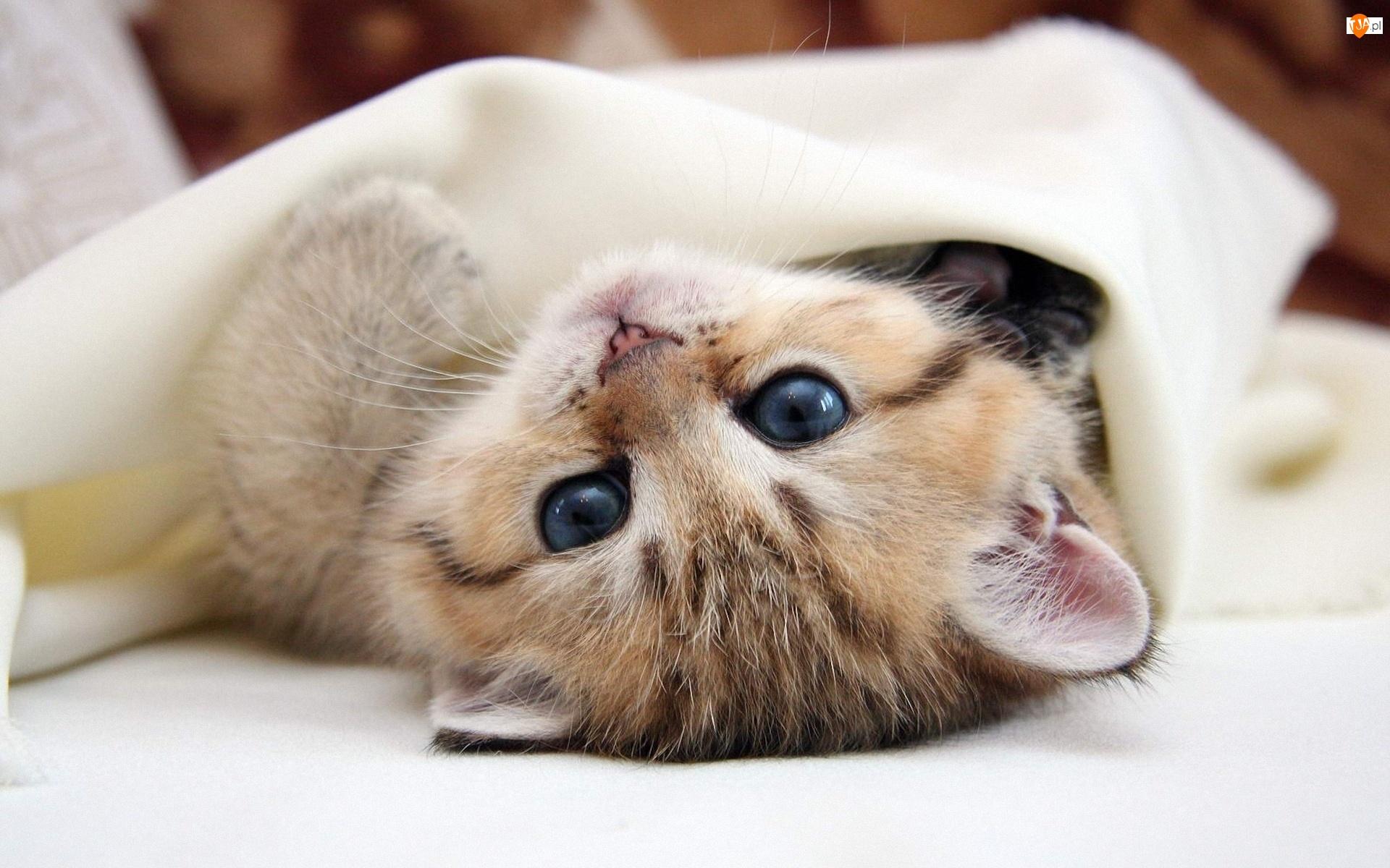 Kocyk, Mały, Kotek
