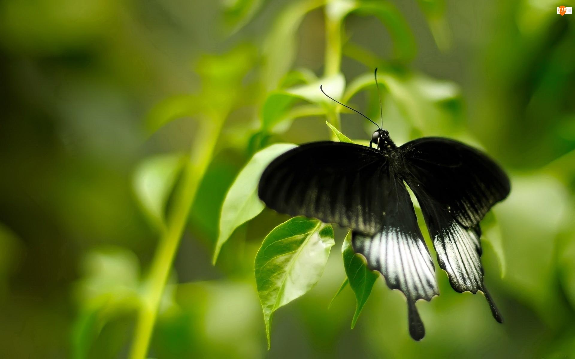 Motyl, Liście, Czarne, Skrzydła