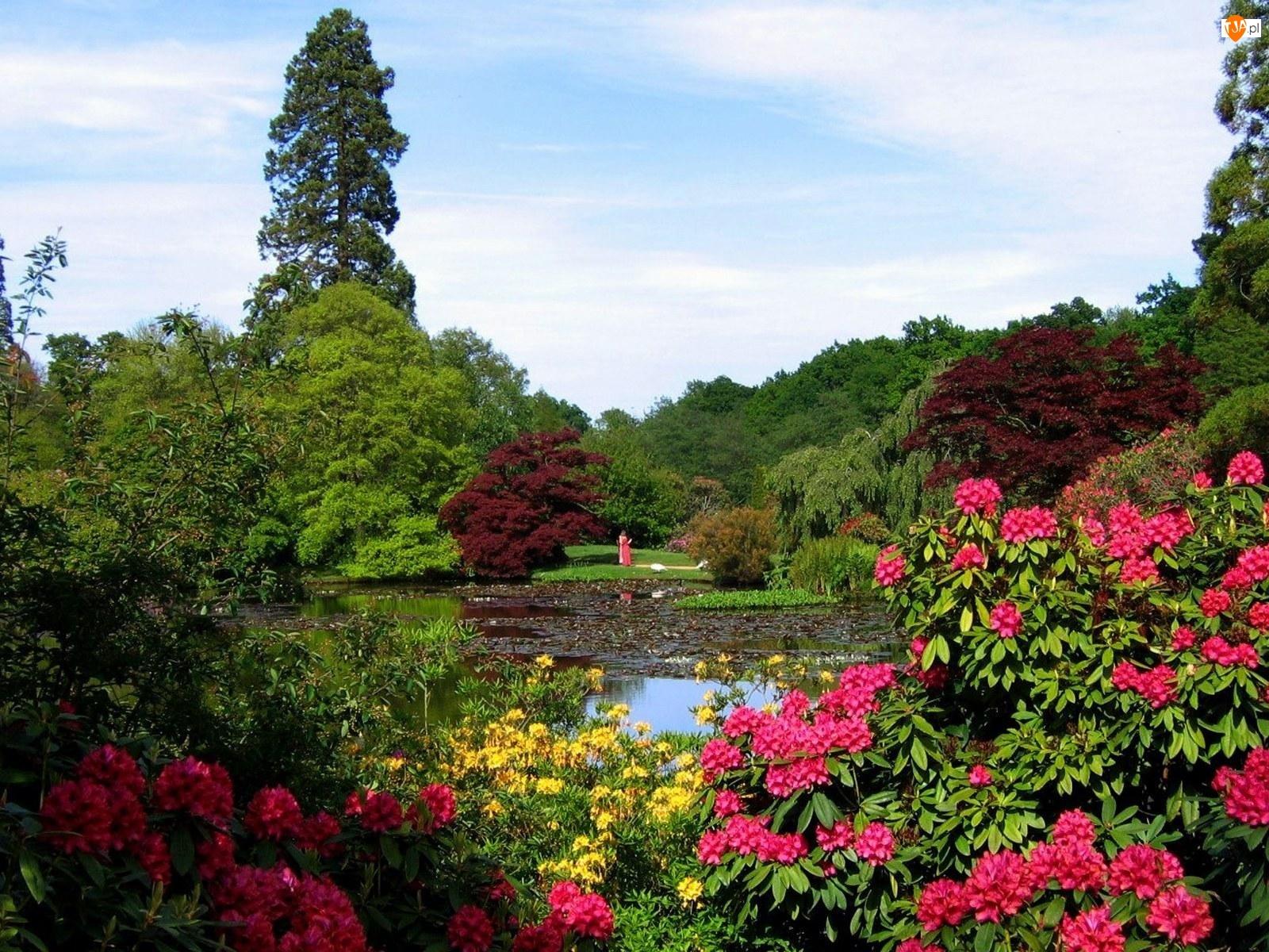 Ogród, Ozdobne, Rododendrony, Krzewy