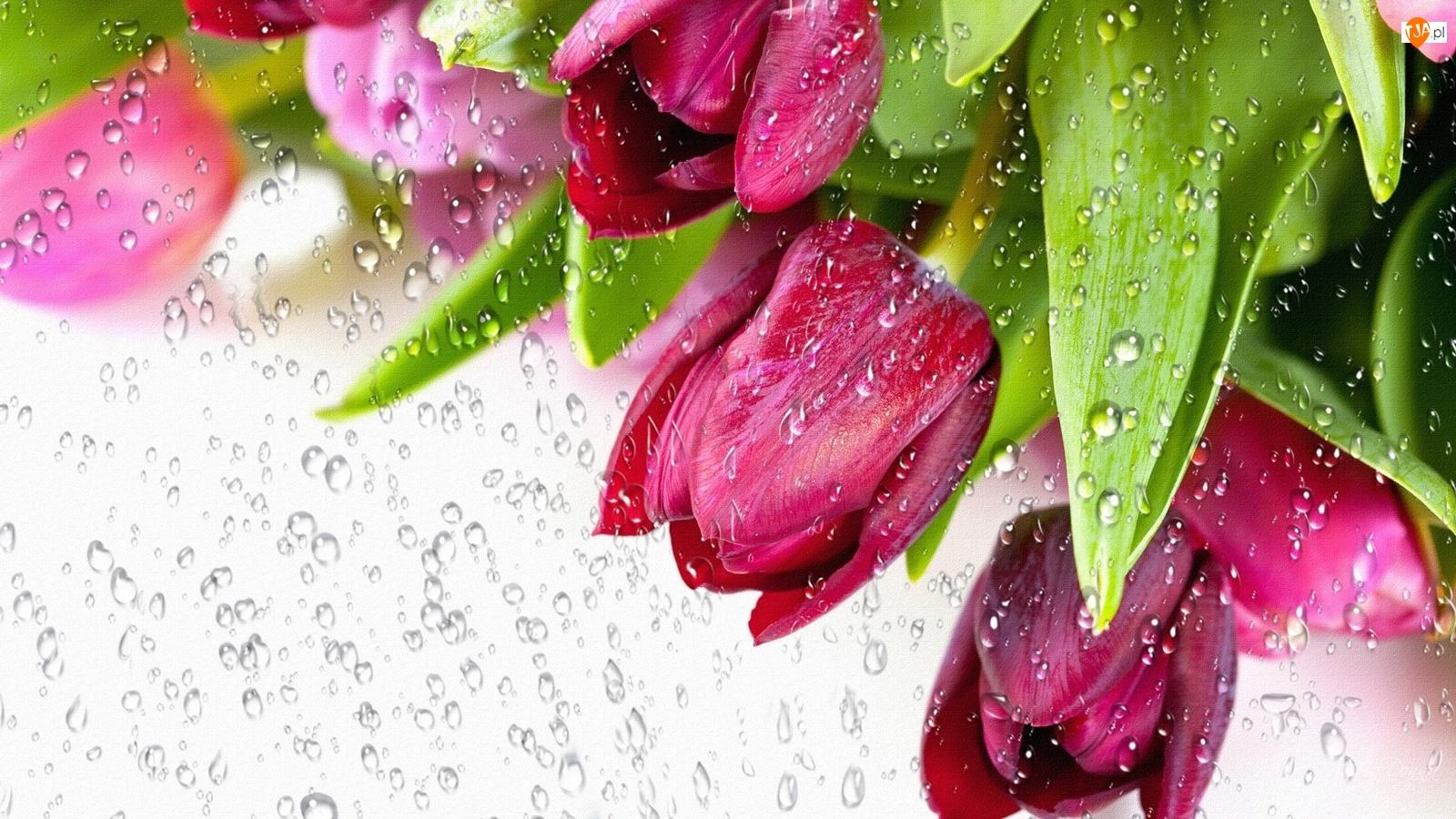 Deszczu, Tulipany, Krople