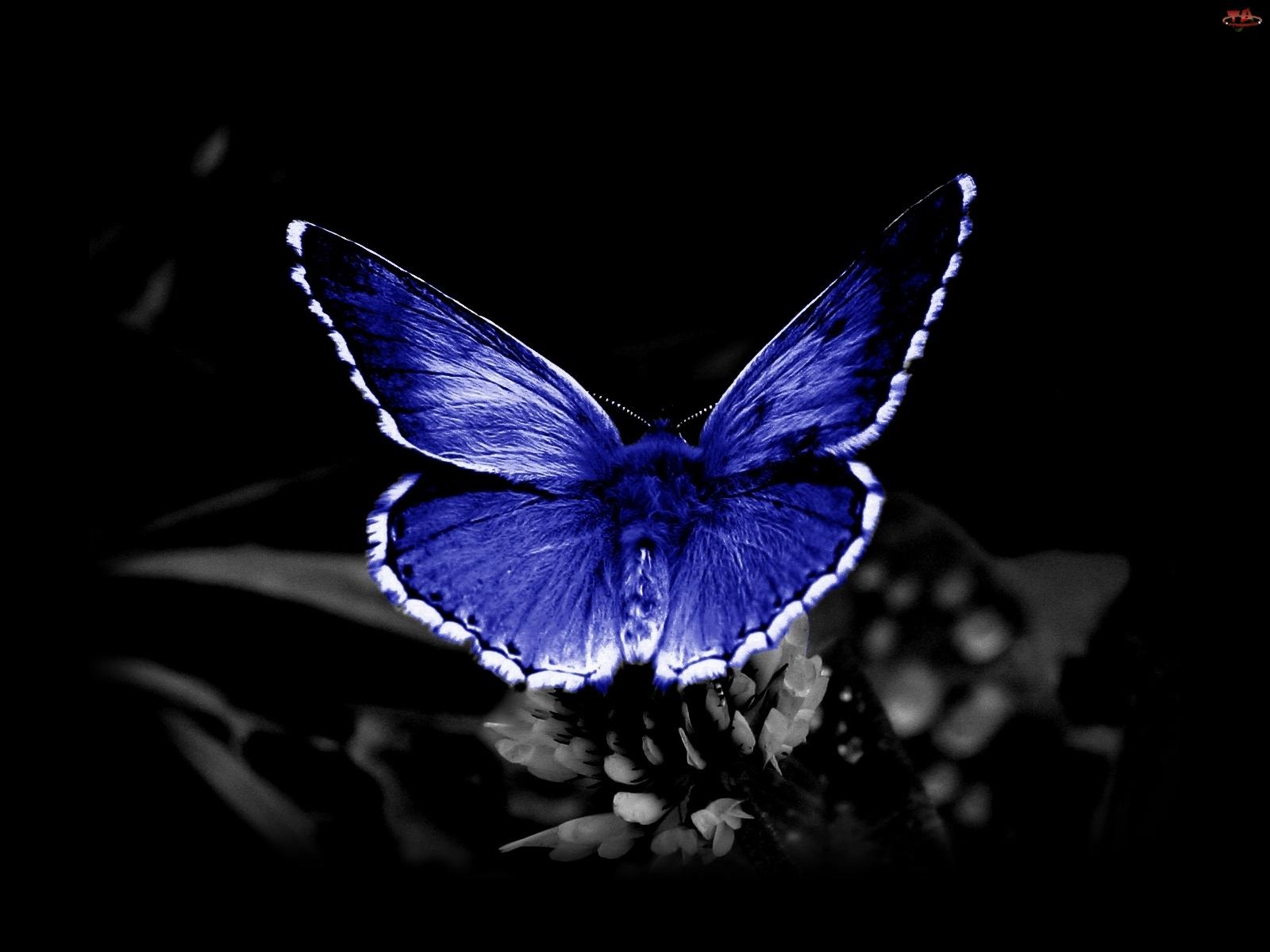 Niebieski, Motyl