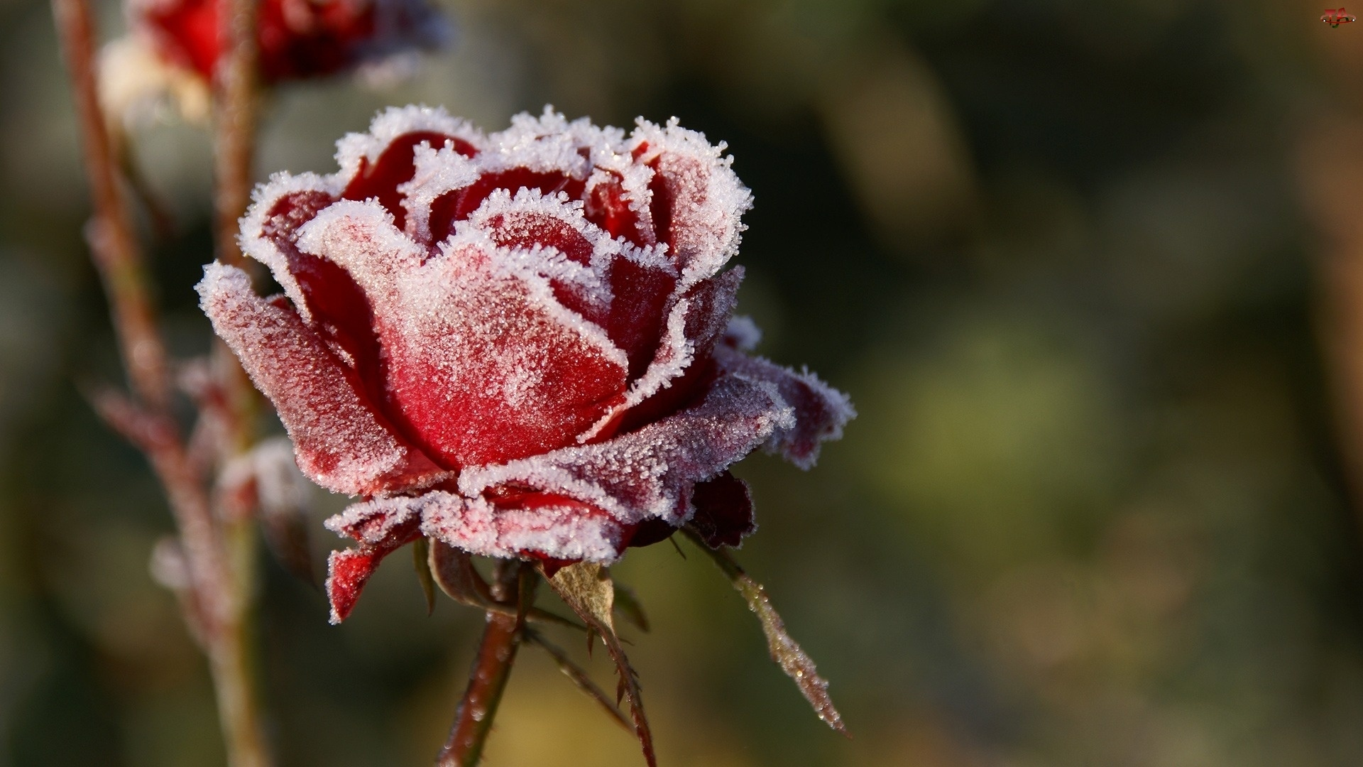 Róża, Mróz, Czerwona, Szron