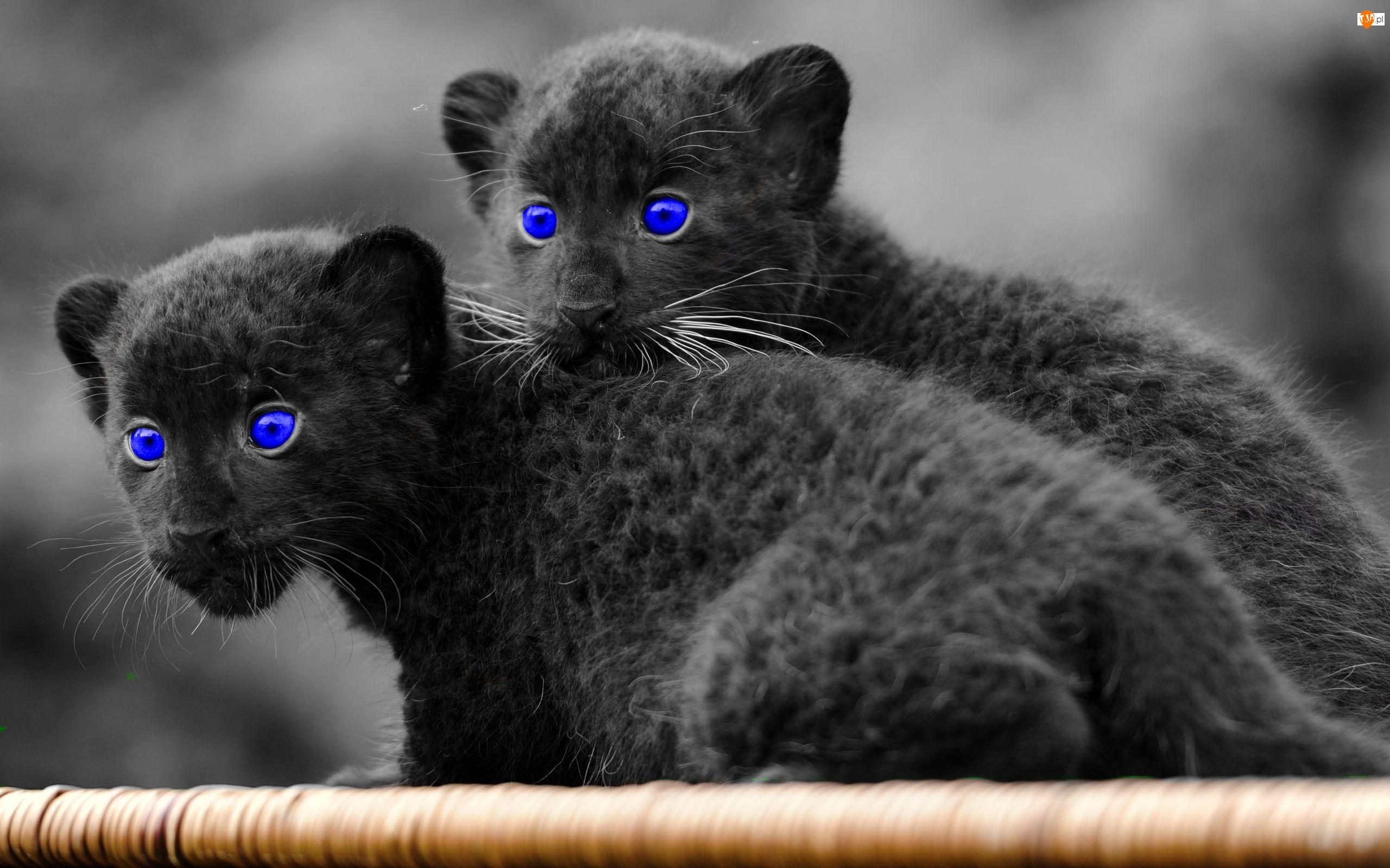 Oczy, Dzikie, Koty, Czarne, Niebieskie