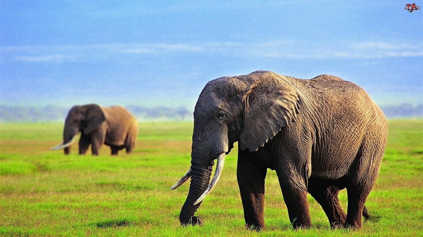 Ciosy, Słonie, Trawa