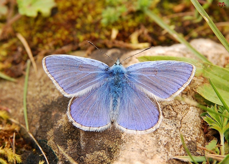 Kamień, Motyl, Modraszek Ikar