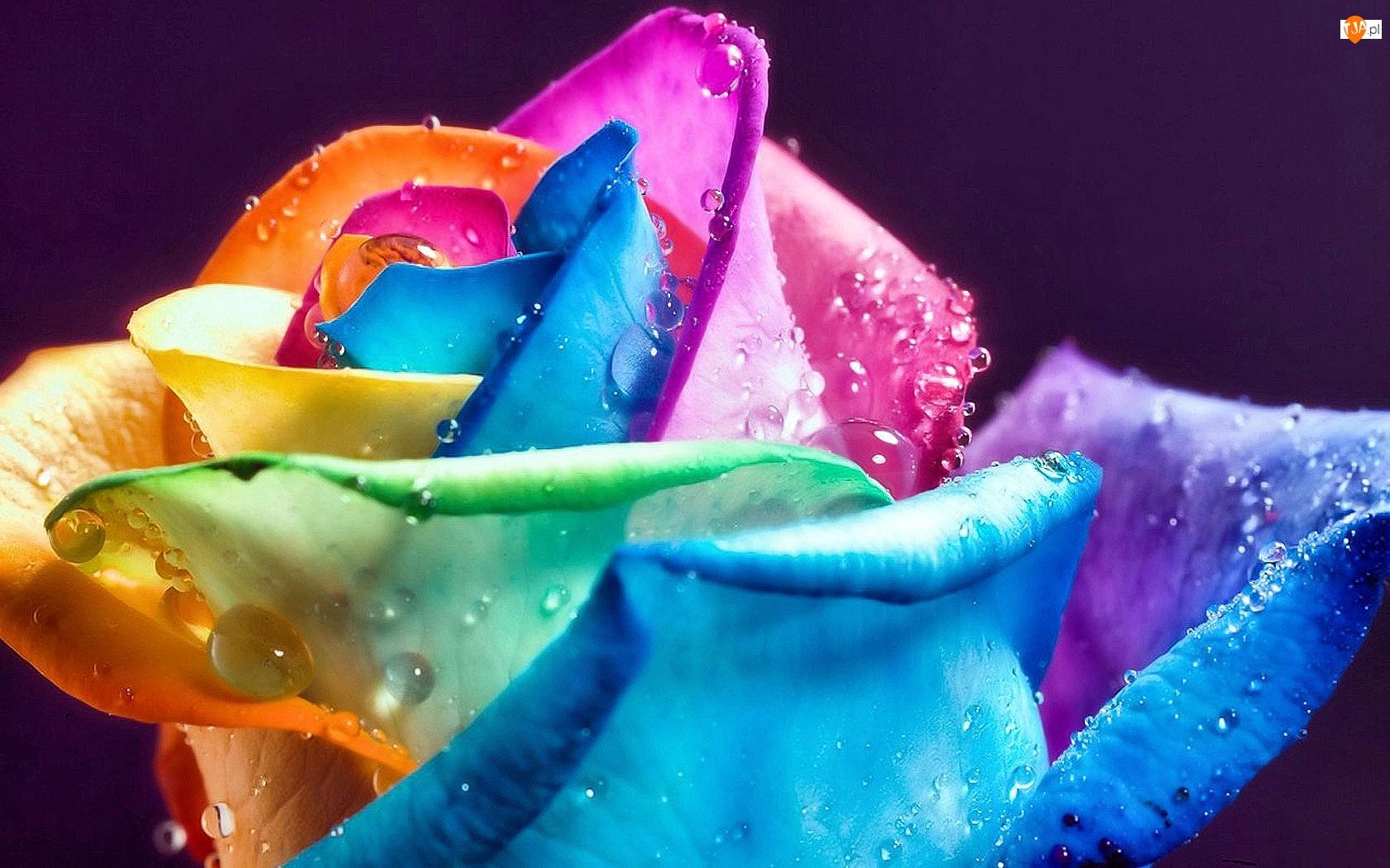 Kolorowa, Wody, Róża, Krople
