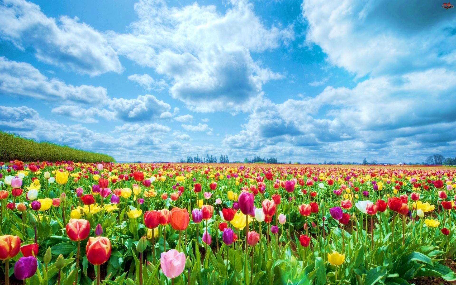 Chmury, Kolorowe, Tulipany