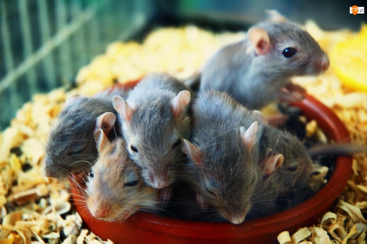 Myszoskoczki, Młode