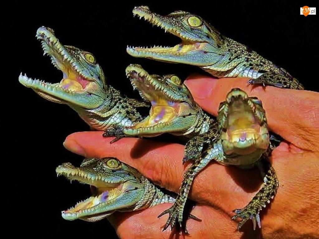 Dłoń, Małe, Aligatory