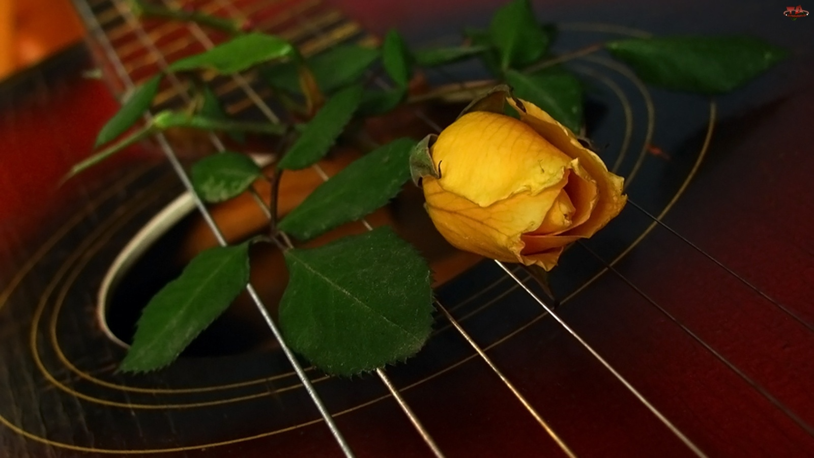 Struny, Róża, Gitara