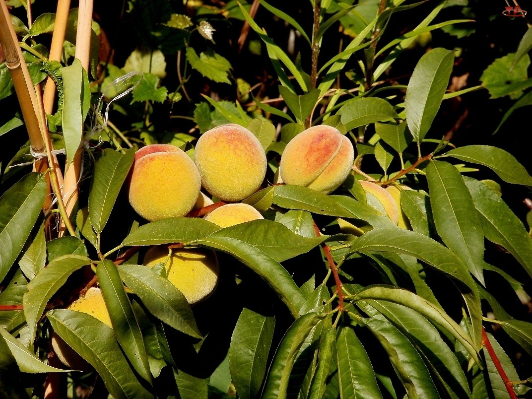 Liście, Owoce, Morele