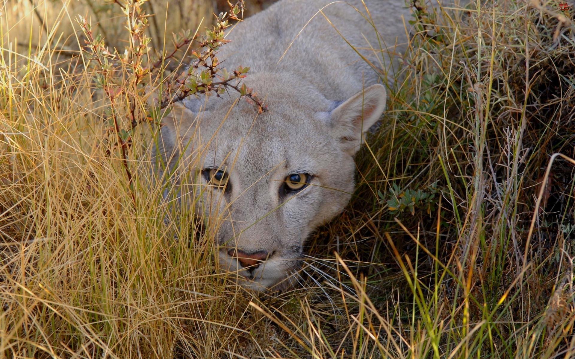 Trawy, Przyczajona, Puma