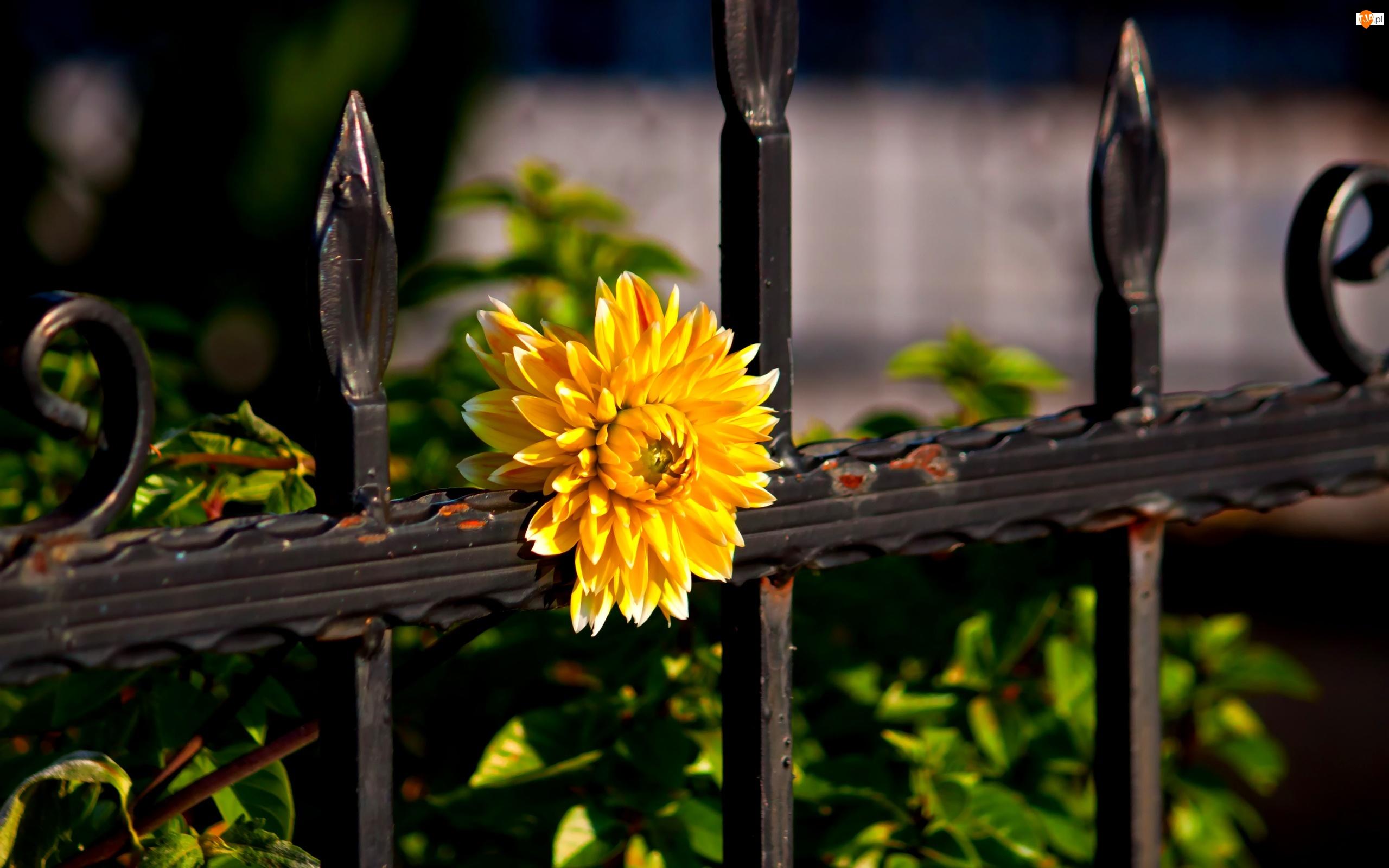Żółty, Ogrodzenie, Kwiat, Metalowe